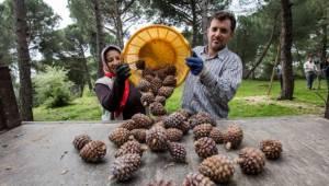 Büyükşehir fıstık çamı için yeniden kolları sıvadı